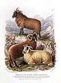 Welsh mountain sheep,19th century