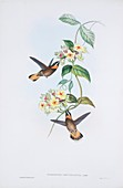Pale-tailed barbthroats,artwork