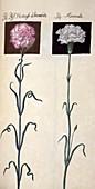 Carnations (Dianthus sp.),artwork
