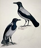 Hooded crows,19th century artwork