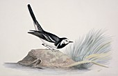 Pied wagtail,19th century