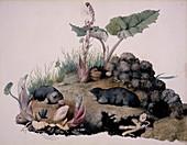European moles,19th century artwork