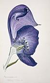 Monkshood flower,20th century