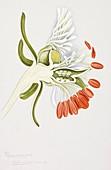 Garden mignonette flower,20th century