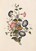 Morning glory flowers,19th century