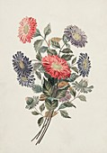 China aster flowers,19th century