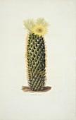 Mammillaria erecta cactus,artwork