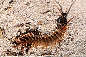 Centipede and ants