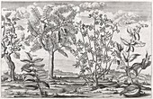 African plants,17th century