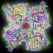 DNA Holliday junction complex