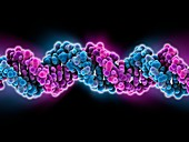 B-DNA molecule