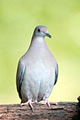 Grey-fronted dove on a branch