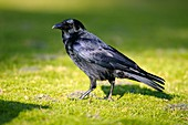 Carrion crow on a lawn