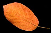 Amelanchier canadensis leaf