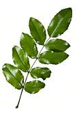 Oregon grape (Mahonia aquifolium) leaves