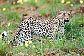 Leopard in a meadow