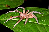 Wandering spider on a leaf