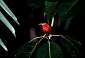 I'iwi bird in a forest,Hawaii