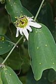 Passiflora cuneata