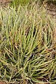 Century plant (Agave toumeyana bella)