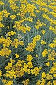 Helichrysum italicum