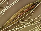 Great Reedmace seed (Typha latifolia) SEM