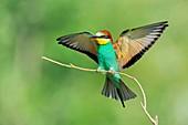 European bee-eater landing on a branch