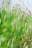 Wild Oats (Avena sp.)