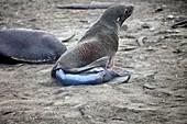 Antarctic fur seal giving birth