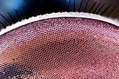 Bluebottle eye