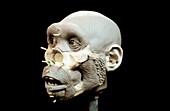 Turkana Boy model head