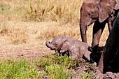 African elephant family at a mud bath