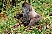 Mountain gorillas mating
