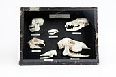 Animal skulls display