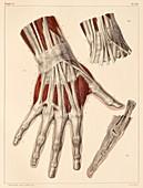 Hand muscle anatomy,1831 artwork