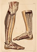 Lower leg and foot fascia,1831 artwork