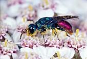 Fire cuckoo wasp