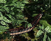 Prehistoric millipede,artwork