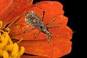Damsel bug on a flower