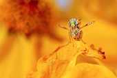 Fruit flies mating