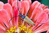 Longhorn beetle on a flower