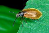 Darkling beetle on a leaf