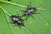 Weevils on a leaf