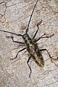 Sawyer beetle on a tree trunk