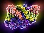 Oestrogen related receptor-DNA complex