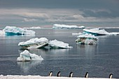 Adelie penguins and icebergs