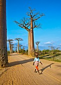 Avenue of the Baobabs,Madagascar
