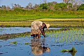 Paddy field,Madagascar