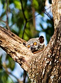 Red-tailed sportive lemur