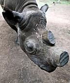 Rhinoceros conservation
